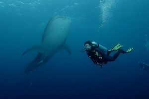 Cendrawasih Bay National Park: Playground of the spotted Whaleshark  in Indonesia